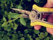 Gardener trimming bush. Cut of bended twig Stock Photo