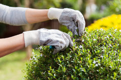 Gardener trimming plant Royalty Free Stock Photography