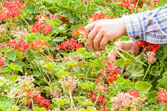 Gardener trimming Stock Images