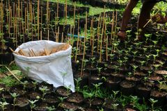 Gardener used a bamboo stick to support the little tree in the p. The gardener used a bamboo stick to support the little tree in the plantation nursery Stock Image