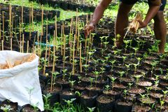 Gardener used a bamboo stick to support the little tree in the n. The gardener used a bamboo stick to support the little tree in the plantation nursery Stock Photo