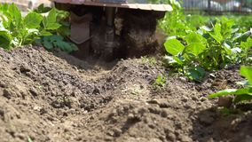 Hilling potatoes. A gardener uses a motor cultivator to hilling potatoes. Slow motion stock footage