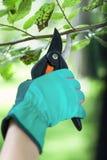 Gardener uses pruner in garden Royalty Free Stock Image
