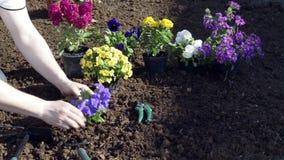 Gardener watering flowers in the garden stock video