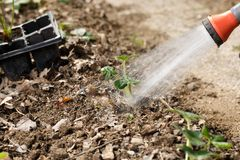 Gardener watering freshly planted seedlings in garden bed for growth boost with shower watering gun royalty free stock images