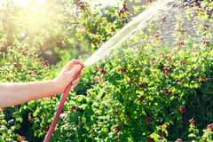 Gardener watering his blackberries bush Stock Photo