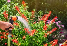 A gardener with a watering hose and a sprayer water the flowers in the garden on a summer sunny day. Sprinkler hose for irrigation stock photos