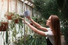 Gardener watering plant in greenhouse Royalty Free Stock Image