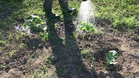 Gardener watering pumpkin sprouts in garden stock footage