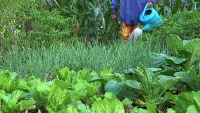 Gardener watering vegetable in vegetable garden. woman gardener. countryside of Thailand. stock video