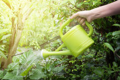 Gardener watering young tree royalty free stock image