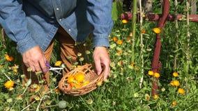 Gardener wearing red and cowboy straw hat picking herbs, 4K stock video footage