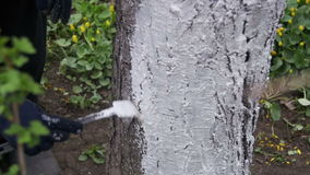 Gardener Whitewash Tree Trunk with Chalk in Garden, Tree Care in Spring. Slow Motion stock video