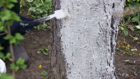 Gardener Whitewash Tree Trunk with Chalk in Garden, Tree Care in Spring. Slow Motion. In 96 fps. Gardener woman cares for the trees on the street in the park stock video