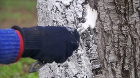 Gardener Whitewash Tree Trunk with Chalk in Garden, Tree Care in Spring. Slow Motion. In 96 fps. Gardener woman cares for the trees on the street in the park stock footage