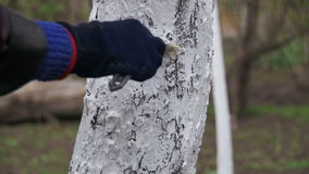 Gardener whitewash tree trunk with chalk in garden, tree care in spring. slow motion. In 96 fps. Gardener woman cares for the trees on the street in the park stock video footage