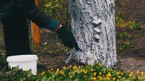 Gardener Whitewash Tree Trunk with Chalk in Garden, Tree Care in Spring stock video