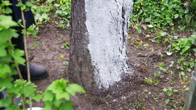 Gardener Whitewash Tree Trunk with Chalk in Garden, Tree Care in Spring stock video footage