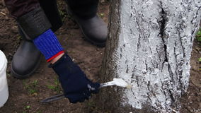 Gardener Whitewash Tree Trunk with Chalk in Garden, Tree Care in Spring. Gardener woman cares for the trees on the street in the park stock video
