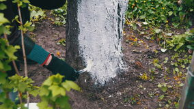 Gardener Whitewash Tree Trunk with Chalk in Garden, Tree Care in Spring stock video