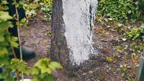 Gardener Whitewash Tree Trunk with Chalk in Garden, Tree Care in Spring. Gardener woman cares for the trees on the street in the park stock footage