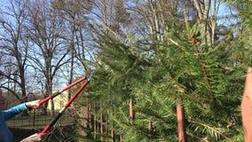 Gardener woman girl trim fir tree hedge with red shears. 4K. Gardener woman girl in blue jumper trimming fir tree hedge with two handle red clippers on blue sky stock footage
