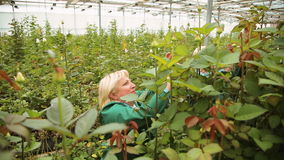 Gardener woman grows and cares for roses in the greenhouse stock footage