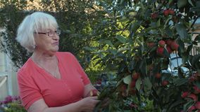 Gardener woman looking apple tree and and harvesting fruit in countryside garden. Gardener woman looking apple tree and and harvesting ripe fruit in countryside stock video footage