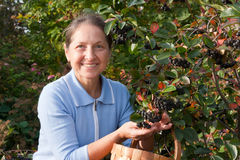 Gardener woman picking ashberry Stock Photography