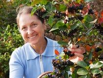 Gardener woman picking ashberry Stock Image