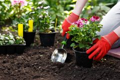 Free Gardener Woman Planting Flowers In Her Garden, Garden Maintenance And Hobby Concept Royalty Free Stock Photo - 139052485