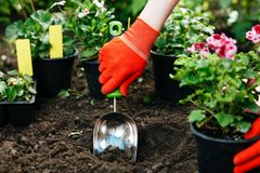 Gardener woman planting flowers in the summer garden at morning Royalty Free Stock Photography