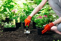 Gardener woman planting flowers in the summer garden at morning Royalty Free Stock Photo