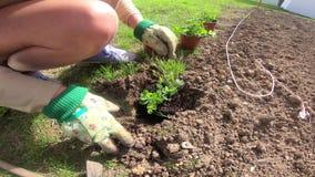 Gardener woman plants young flower shoots in the garden. A gardener woman plants young flower shoots in the garden stock video