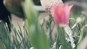 Gardener woman using watering pot for pouring water flowering tulip in garden. Irrigation and care to plants and flowers in countryside stock footage