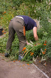 Gardener At Work 01. A professional gardener at work removing weeds and cutting back excessive growth in a flower-bed at the National Welsh Botanic Gardens Stock Images