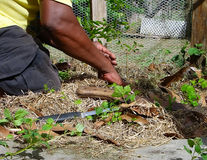 A gardener at work at belmont house, bequia Stock Photos