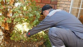 A gardener in work clothes cleans old leaves under a fir conifer