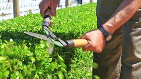 Gardener at work. A gardener clipping the bushes with shears in the summer garden stock video footage
