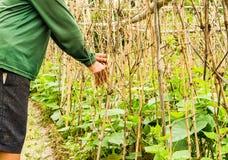 Gardener working in cucumber field Stock Image