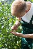 Gardener working in greenhouse. And caring about tomatoes Stock Photo