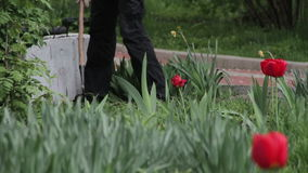 Gardener Working with a Hoe in the Park with Tulips stock video footage