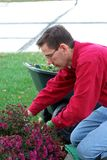 Gardener Working Man. A man is working in the landscaping garden, pruning the dead flowers. A flowering mum should remain full of color approximately 4 to 6 Royalty Free Stock Image