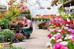 Gardener works in a greenhouse of a flower shop stock photo