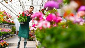Gardener works in a greenhouse of a flower shop royalty free stock images