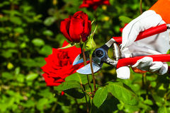 Gardener& x27; s-Hand, die eine Rose abschneidet Lizenzfreie Stockbilder