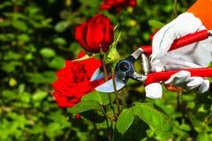 Gardener& x27; s ręka tnąca z róży Obrazy Royalty Free