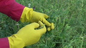 Gardener with yellow protective glove harvesting pea pods stock video footage