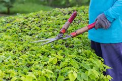 Gardeners cut branches. In thai Stock Photography
