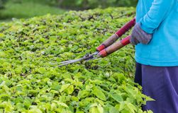Gardeners cut branches. In thai Stock Image